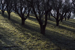 Orchard trees Stock Image