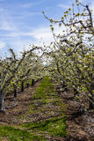 Orchard View in Spring Blossom Royalty Free Stock Photography