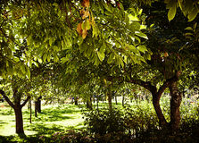 Orchard view in summer Royalty Free Stock Image