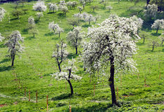 Orchard with white flowers in the spring. Orchard with white flowers and green grass in the spring Royalty Free Stock Photo