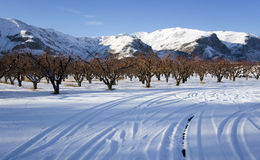 Apple Orchard Snow Fall Winter Coulmbia River Royalty Free Stock Photo