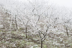 Orchard in winter Stock Photo