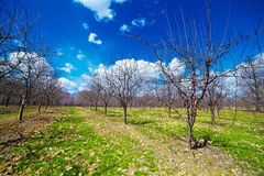 Orchard of young apple trees Royalty Free Stock Photos