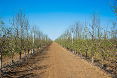 Orchard of young apple trees in early spring Royalty Free Stock Image