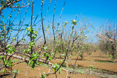 Orchard of young apple trees in early spring Royalty Free Stock Images