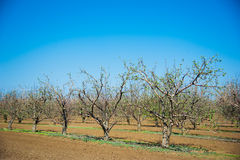 Orchard of young apple trees in early spring Royalty Free Stock Photography