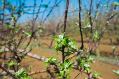 Orchard of young apple trees in early spring Stock Photography