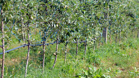 Orchard of young apple trees growing in lines Royalty Free Stock Images
