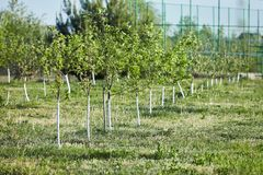 Orchard of young apple trees painted white royalty free stock image