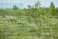 Orchard of young apple trees painted white stock photos