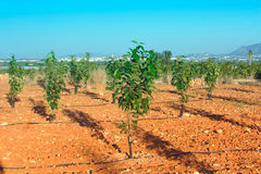 Orchard with young persimmon trees Stock Photo