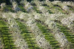 Orchards. Photograph of orchards in spring Royalty Free Stock Photos