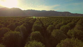 Orchards Aerial