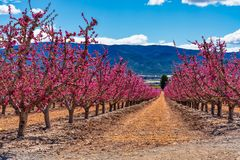 Orchards in bloom. A blossoming of fruit trees in Cieza, Murcia Spain. Orchards in bloom. A blossoming of fruit trees in Cieza in the Murcia region. Peach, plum stock photo