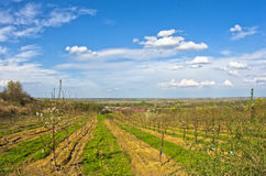 Orchards in bloom by Danube river at early spring Stock Photography