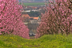 Orchards blooming at early spring, near Danube river Stock Photography