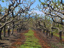 Orchards blooming in Osoyoos with bright blue skies Stock Photos