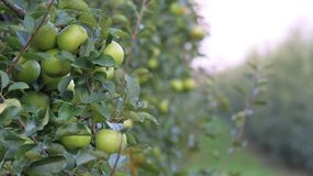 Orchards, fruit trees, green apples. Unripe apples on the branches in the orchard, green apples on close-up stock photo