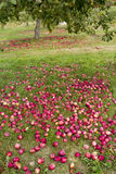 Orchards in Quebec in autumn Royalty Free Stock Image