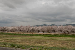 Orchards of San Joaquin Valley. In springtime Royalty Free Stock Photos