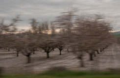 Orchards of San Joaquin Valley. In springtime Royalty Free Stock Images