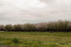 Orchards of San Joaquin Valley. In springtime Stock Image
