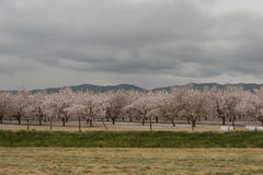 Orchards of San Joaquin Valley. In springtime Stock Photos