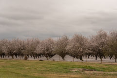 Orchards of San Joaquin Valley. In springtime Royalty Free Stock Photo