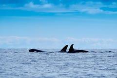 Orche nel selvaggio Fotografia Stock