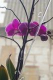 Orchidée à la maison Photographie stock
