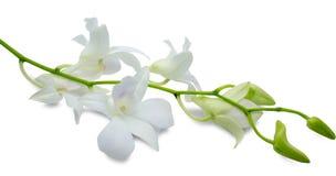 Orchidée à un arrière-plan blanc Photos libres de droits