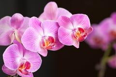 Orchidée Image stock