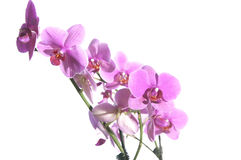 Orchidée Images stock
