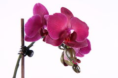 Orchidée Image stock