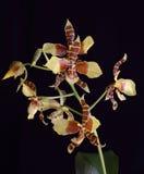 Orchidée 3 photographie stock libre de droits