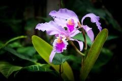 Orchidée Photographie stock libre de droits