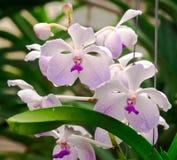 Orchidée Photos stock