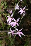 Orchidée australienne sauvage - fée rose photographie stock