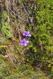 Orchidée australienne sauvage - orchidée pourpre d'émail photographie stock
