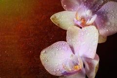 Orchidée avec des baisses de rosée Photos stock