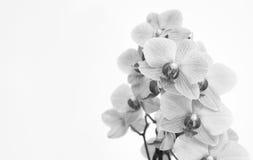 Orchidée avec le fond blanc Photographie stock