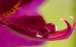 Orchidée avec une baisse de rosée Image libre de droits