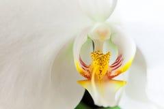 Orchidée blanche 01 Photographie stock libre de droits