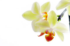 Orchidée blanche image libre de droits