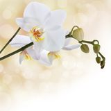 Orchidée blanche Image stock