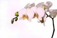 Orchidée blanche Images libres de droits