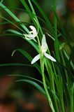 Orchidée blanche Photo stock