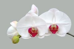 Orchidée blanche illustration stock