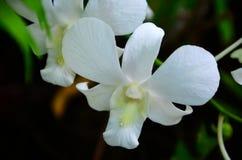 Orchidée blanche Photo stock