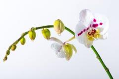 Orchidée blanche Images stock
